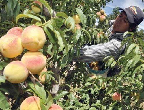 Comunidades de los Cintis pierden producción agrícola y frutícola por granizadas y lluvias