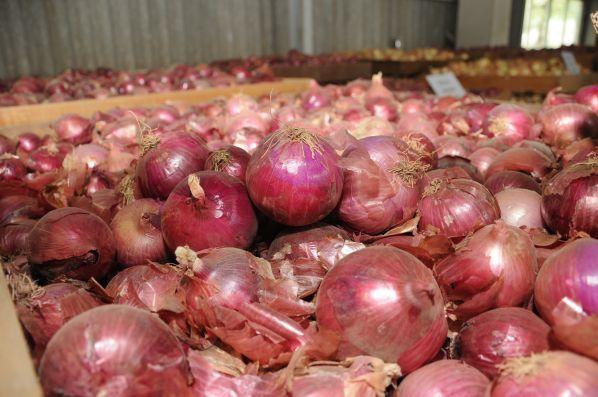 Productores de cebolla de Tarija reportan pérdidas de más del 70% en la producción