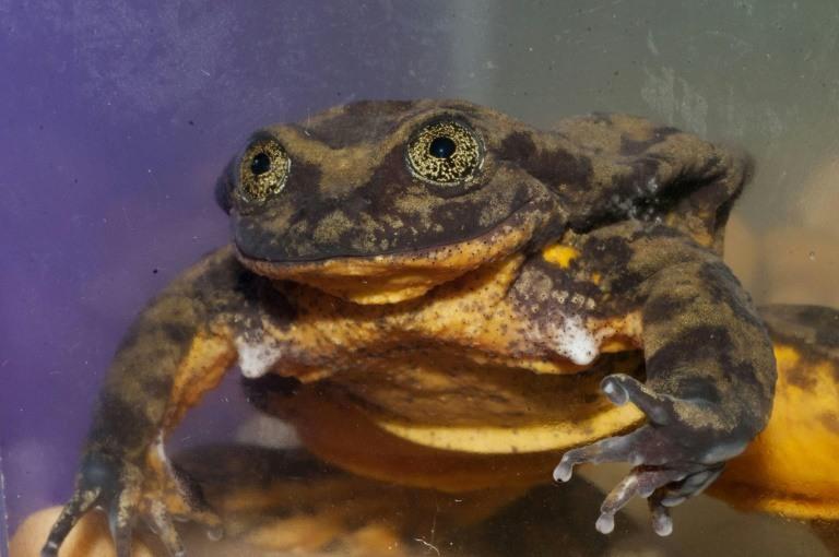 La rana Romeo busca un amor para preservar su especie en Bolivia