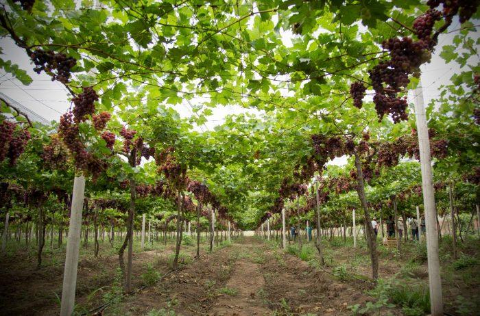 Instalarán mallas antigranizo para fortalecer producción vitivínicola en el Chaco