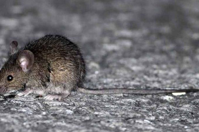 Salud distribuye 700 kilos de rodenticida contra roedores a 5 departamentos para prevenir enfermedades
