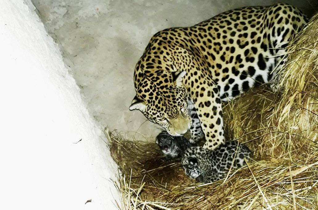Nacimiento de dos jaguares en el centro Play Land Park enternece a Santa Cruz