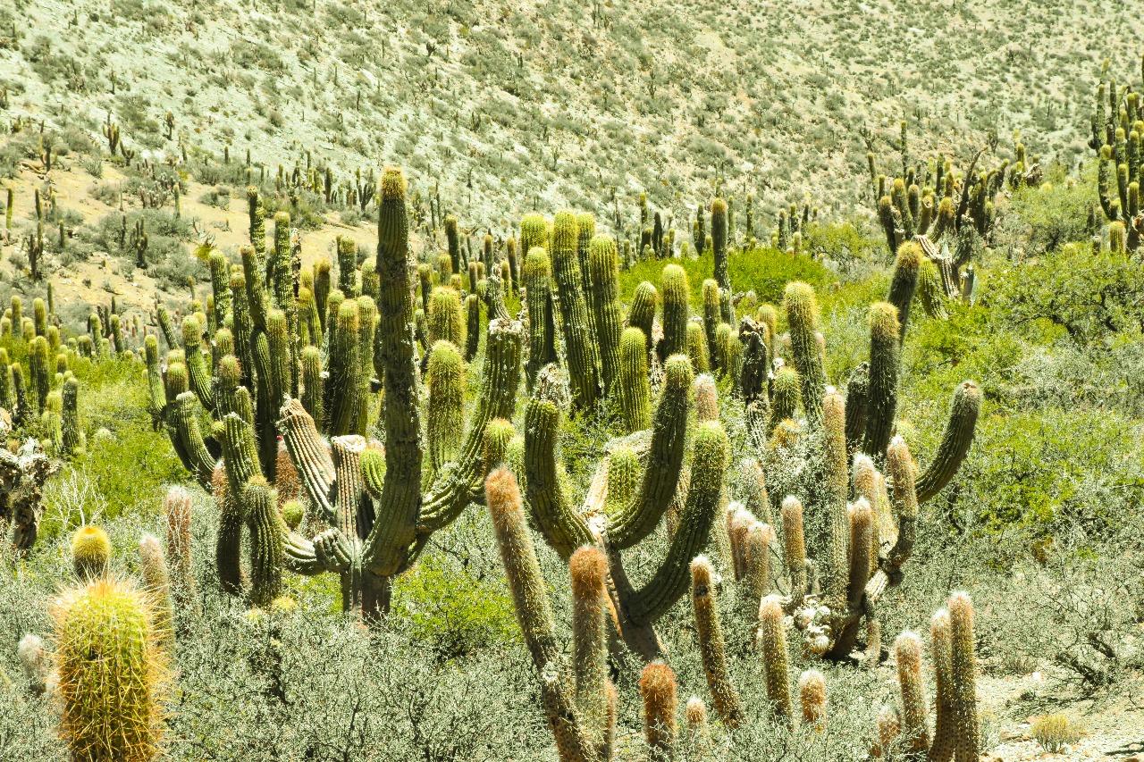 Descubriendo el mundo perdido de los cactus gigantes en Tarija