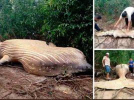 El misterio que desconcierta a los científicos brasileños: una ballena apareció muerta en medio del Amazonas