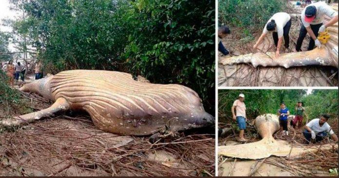 Una ballena apareció muerta en medio del Amazonas de Brasil