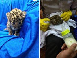 En el equipaje de un pasajero y descubrieron a un cachorro de leopardo