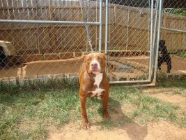 Perros Rottweiler y Pitbull