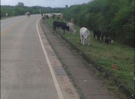 Una vagoneta atropella a una vaca y deja un herido en la ruta 9 de Villa Montes