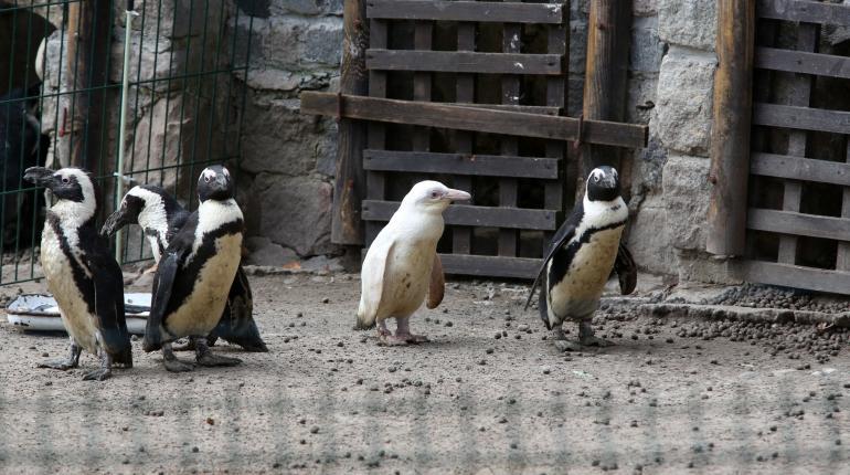 Presentan un insólito pingüino albino en un zoológico de Polonia
