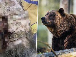Un hombre que sobrevivió un mes atrapado en la guarida de un oso en Rusia