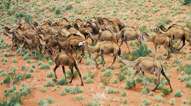 Australia sacrifica a más de 5.000 camellos para proteger zonas aborígenes