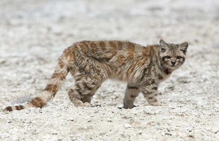 Tras 12 años, reapareció en Mendoza el animal en peligro de extinción más amenazado del continente