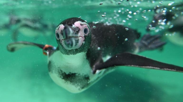 Esperan recuperar población del pingüino de Galápagos ante mayor expectativa de vida