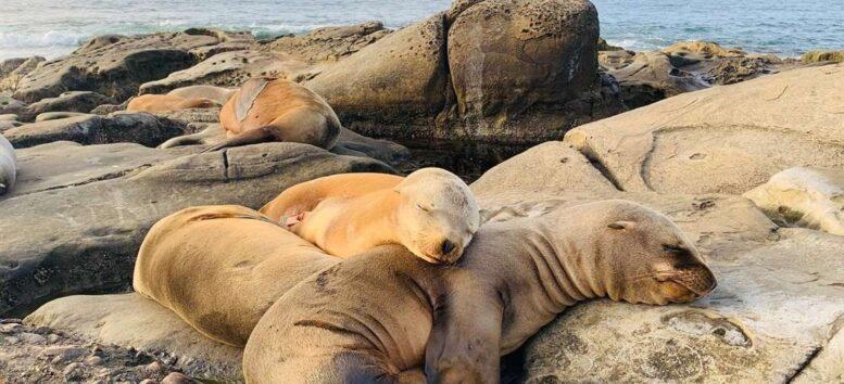 Encuentran a miles de lobos marinos muertos en Namibia tras un