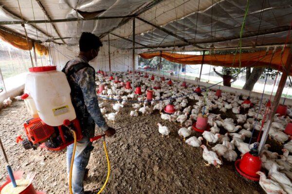 Rusia detectó el primer caso de transmisión de la cepa H5N8 de gripe aviar a seres humanos