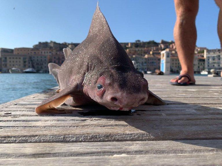 Cuerpo de tiburón y cabeza de cerdo: el extraño pez hallado en una isla de Italia que fue confundido con un monstruo marino